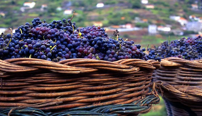 Grapes with baskets for the grape-picking