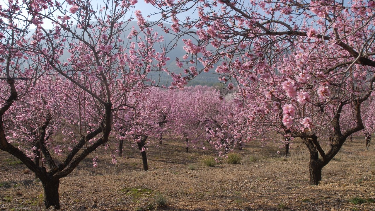 Almond trees in bloom in Alcalalí